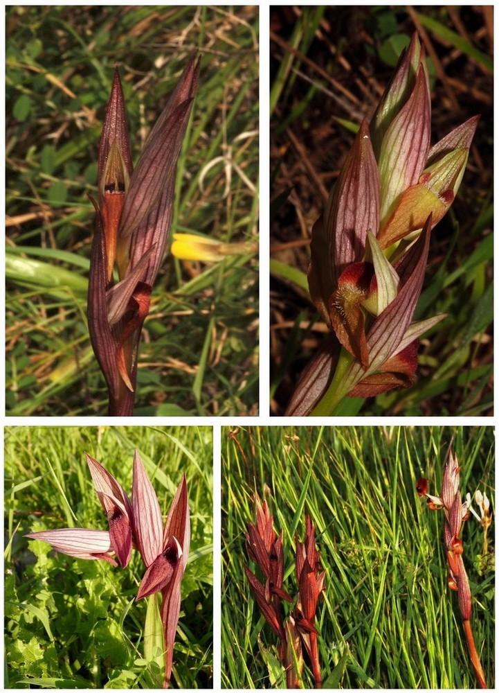 Chypre 3- les ophrys du groupe d'O. mammosa et les sérapias Divers10