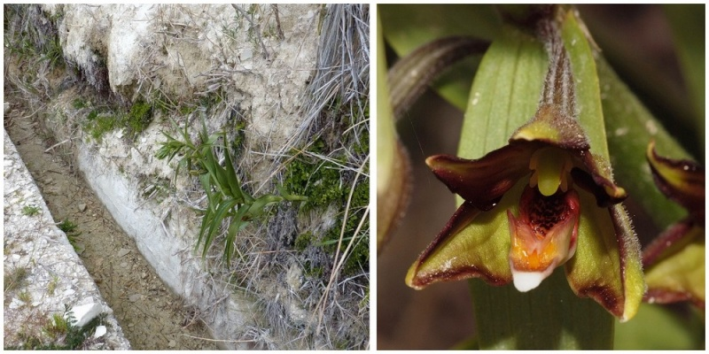 Chypre 2013 4- autres orchidées hors Ophrys et Serapias E_ver_10