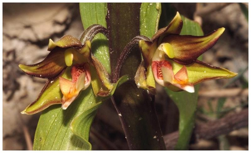 Chypre 2013 4- autres orchidées hors Ophrys et Serapias E_ver_11