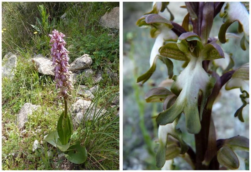 Chypre 2013 4- autres orchidées hors Ophrys et Serapias H_rob12
