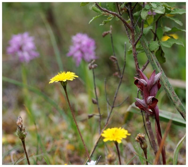 Chypre 3- les ophrys du groupe d'O. mammosa et les sérapias Lev_111