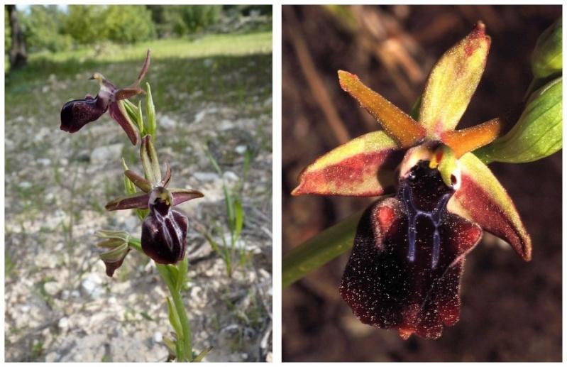 Chypre 3- les ophrys du groupe d'O. mammosa et les sérapias Mam_3a11