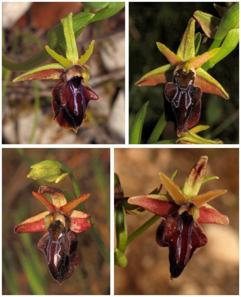Chypre 3- les ophrys du groupe d'O. mammosa et les sérapias Mor_310