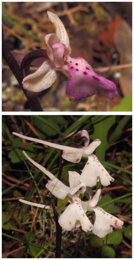 Chypre 2013 4- autres orchidées hors Ophrys et Serapias O_ana10
