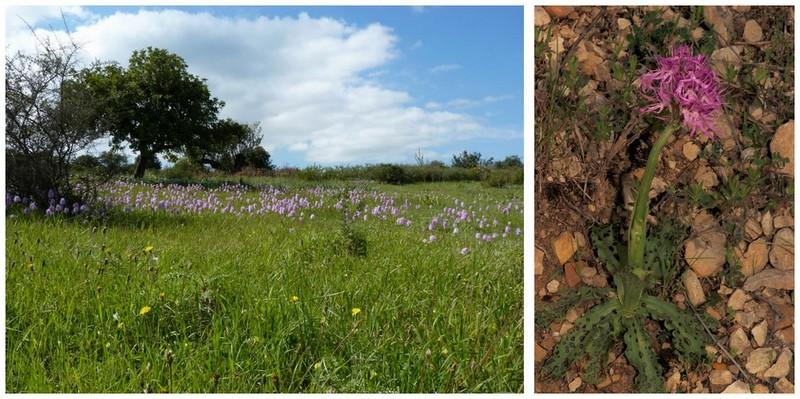 Chypre 2013 4- autres orchidées hors Ophrys et Serapias O_ita_10