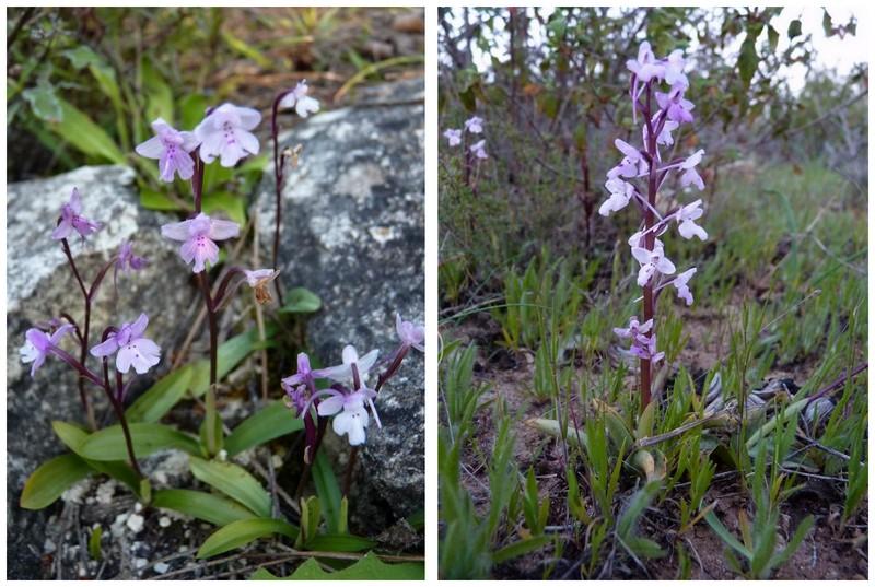Chypre 2013 4- autres orchidées hors Ophrys et Serapias O_sez_10