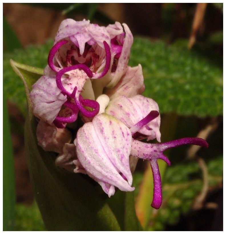 Chypre 2013 4- autres orchidées hors Ophrys et Serapias O_sim10