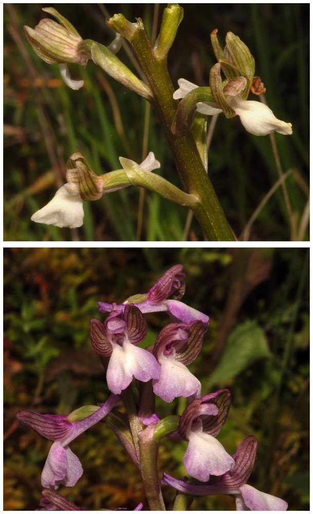 Chypre 2013 4- autres orchidées hors Ophrys et Serapias O_syr_12