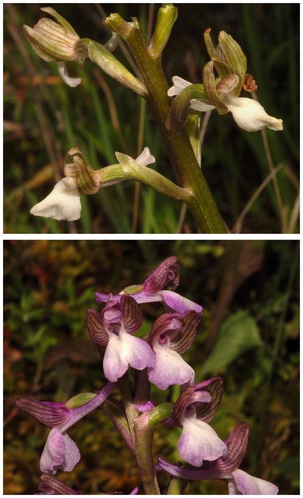 Chypre 2013 4- autres orchidées hors Ophrys et Serapias O_syr_13