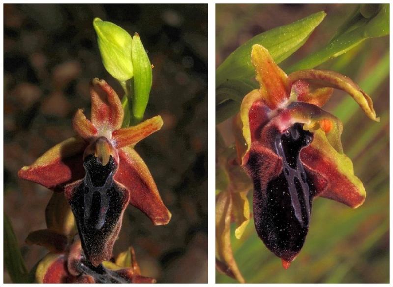 Chypre 3- les ophrys du groupe d'O. mammosa et les sérapias Pos_210