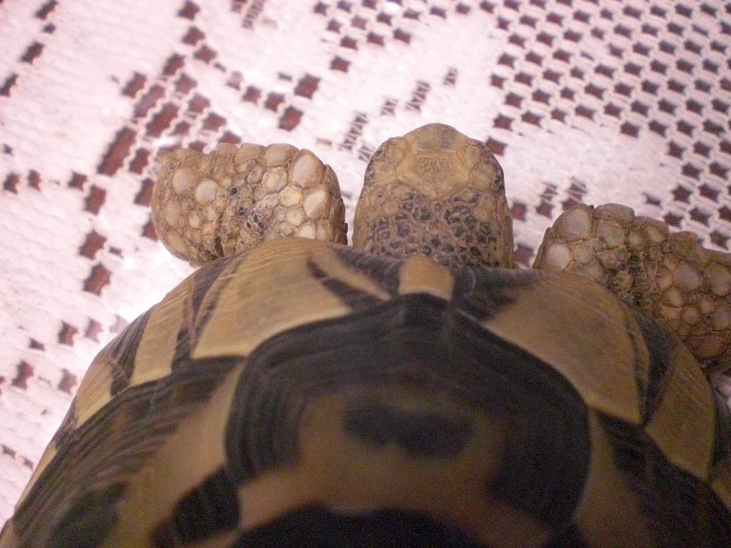 Identification de cette tortue Cimg0114