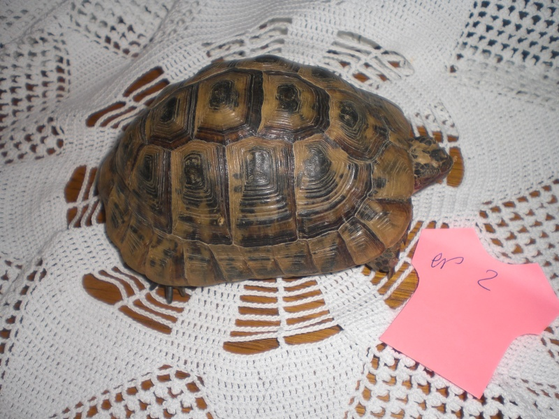 Identification tortue terrestre Cimg0326
