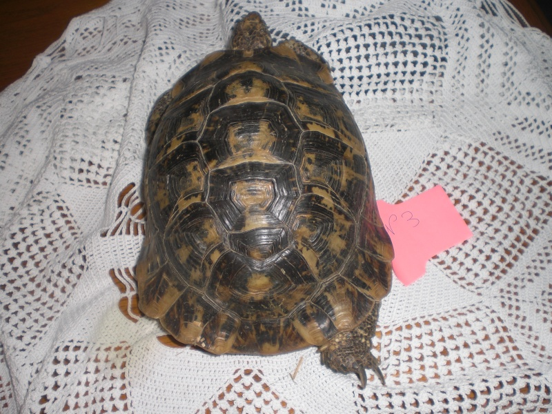 Identification tortue terrestre Cimg0328