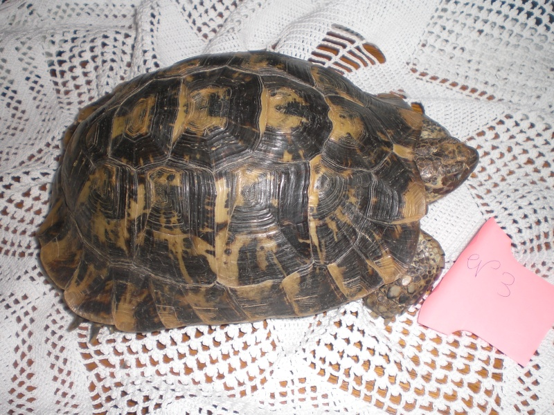 Identification tortue terrestre Cimg0329