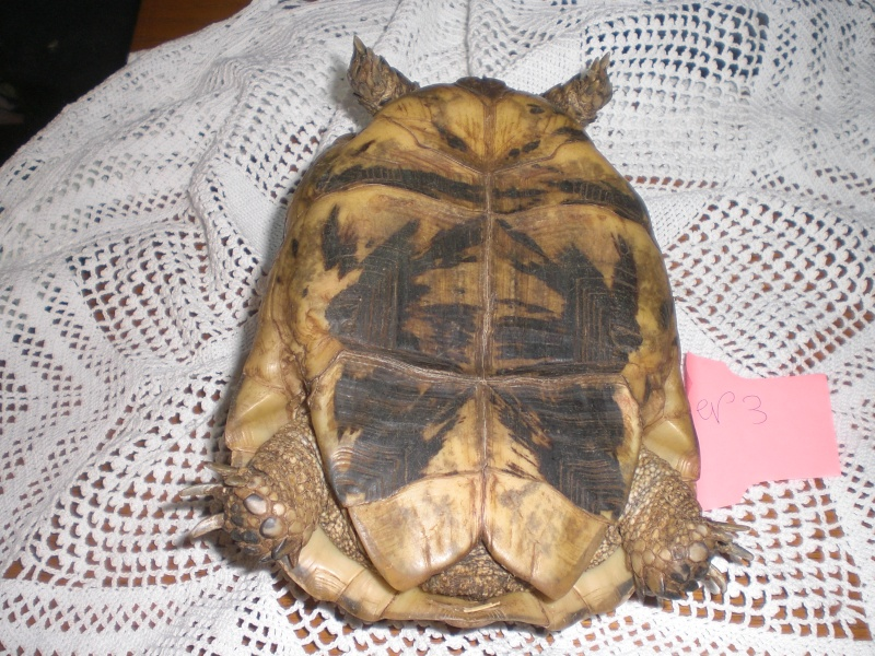 Identification tortue terrestre Cimg0330