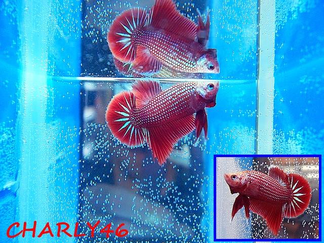 F2 red dragon et les dérivés !!!!! Red_dr17