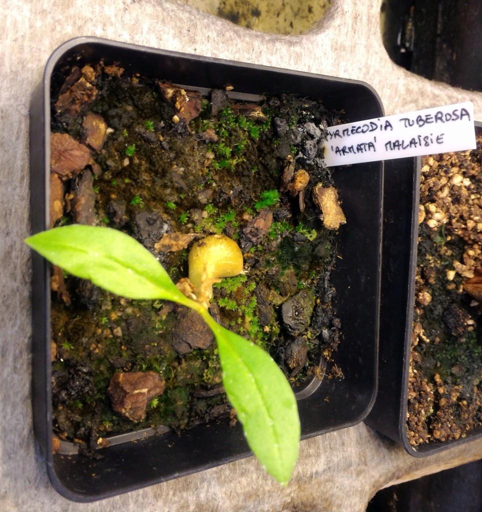 Myrmécodia et Lecanopteris 03041910