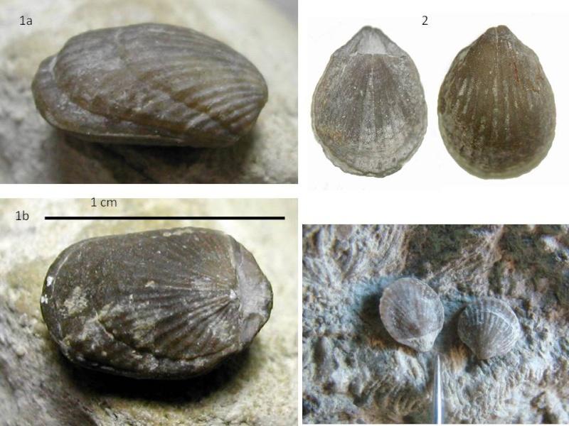 Petits brachios(éocène, bartonien) Argyro10