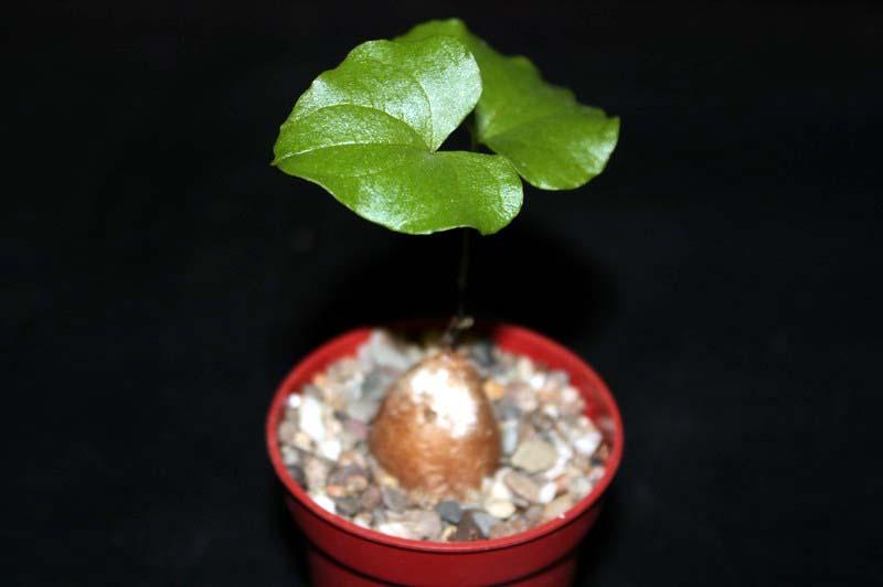 Mon Gardenia Diosco10