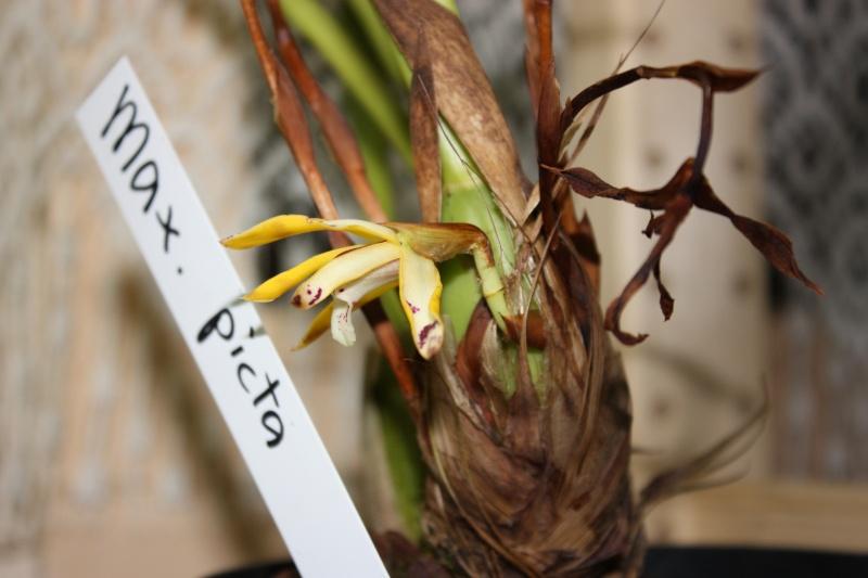 nouveaux venu: un gongora et aujourd'hui un maxillaria picta!! Img_3910