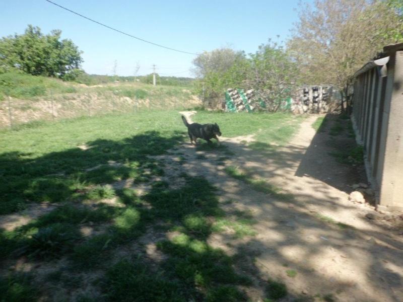 TWEETY berger X husky, née en juin 2001, sportive et joueu  (f ) REFU83 53606210