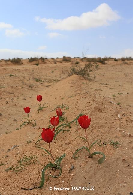 Herborisations en Israël et en Jordanie - Page 5 Eos_6d10