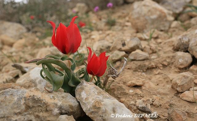 Herborisations en Israël et en Jordanie - Page 5 Eos_6d11