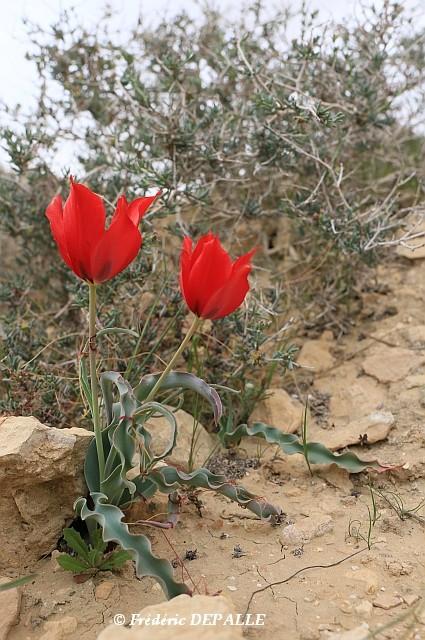 Herborisations en Israël et en Jordanie - Page 5 Eos_6d12