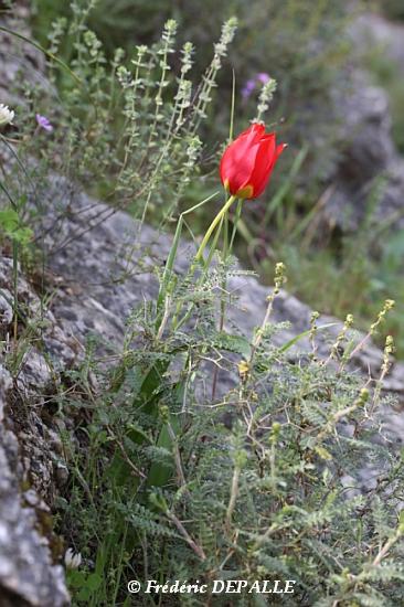 Herborisations en Israël et en Jordanie - Page 5 Tulipa10
