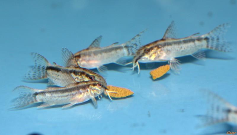 Corydoras Gracilis Img_2122