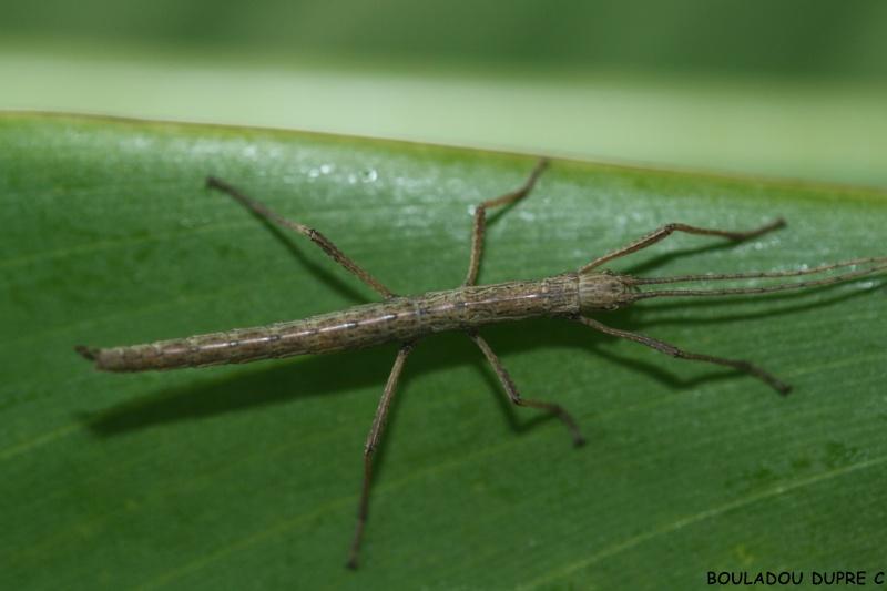 Anisomorpha paromalus  (psg 122) L1_21_10