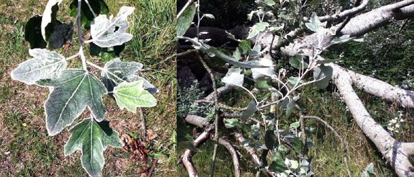 Tree ID help Img_0611