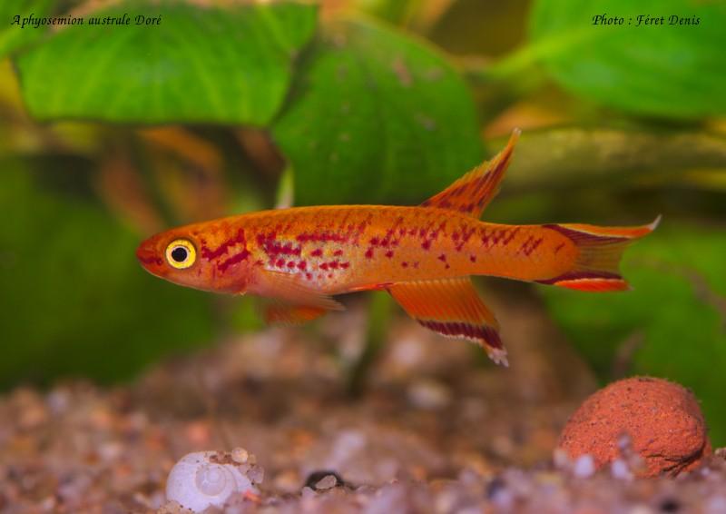 Aphyosemion australe Doré 2013-039