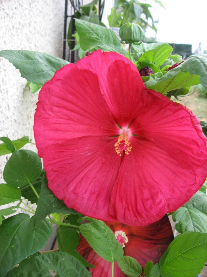 hibiscus moscheutos ou des marais 28_07_10