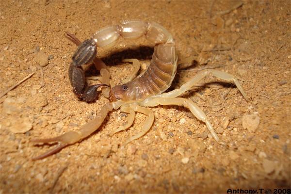 Parabuthus liosoma (Djibouti) - Anthony.T Pa_lio10