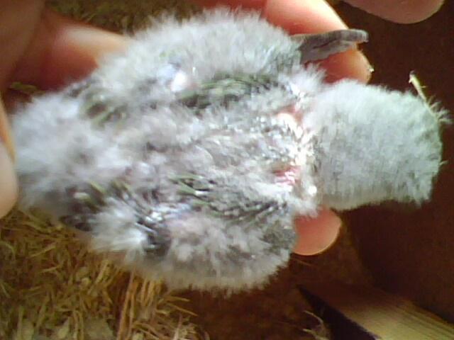 Moje ptice Img01311