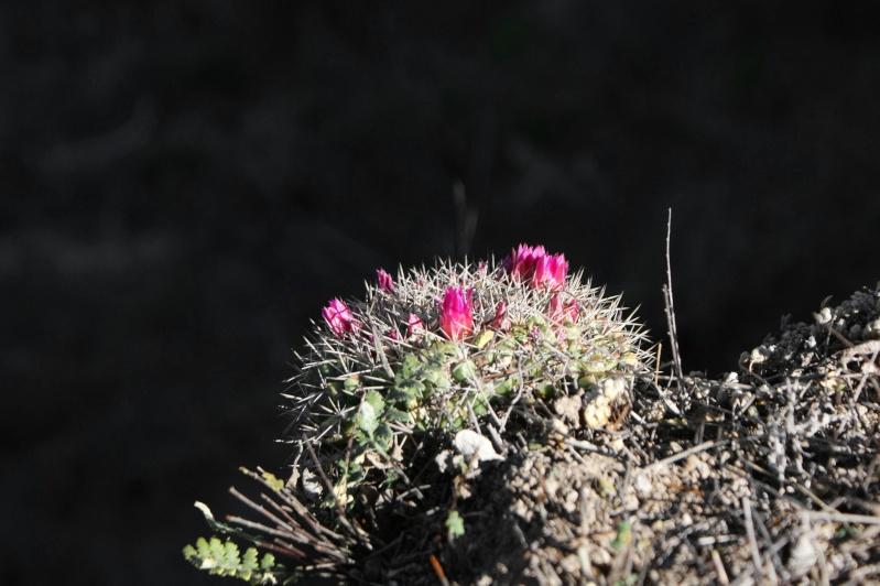 Mammillaria chaletii - a new species from north-western Durango Fig_5_10