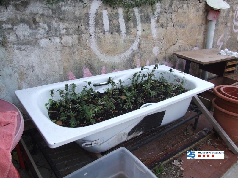 Els mossos localitzen un laboratori de cultiu i producció de marihuana en una casa ocupada al Masnou Labora11