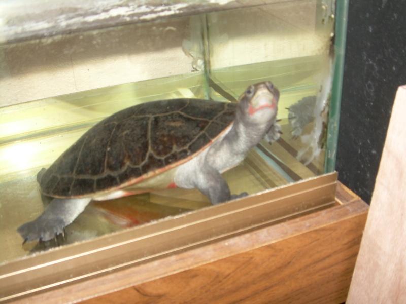 bassin d'intérieur pour tortues Dscn1813