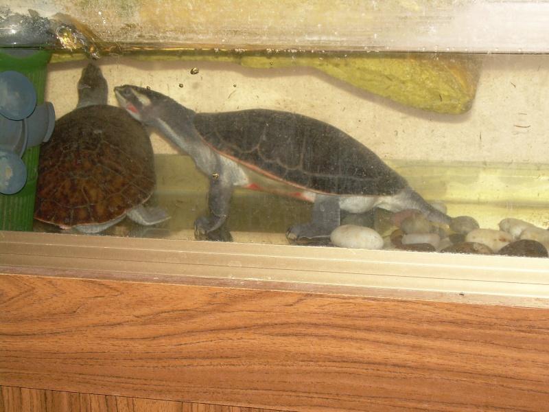 bassin d'intérieur pour tortues - Page 2 Dscn1833