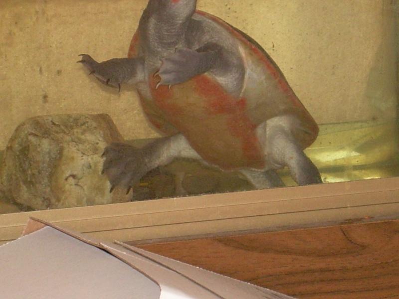 bassin d'intérieur pour tortues - Page 5 Dscn1861