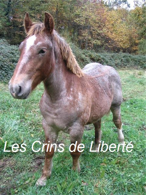 ULYSSE (Trait Breton) & UNIK (Breton X Percheron) nés en 2008 - adoptés en décembre 2008 par cherryhill Getatt11