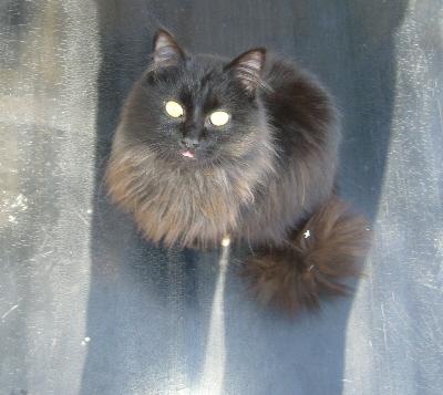 CHARLY Europeen noir poil mi-long 250269801978945 ( CA ) P1150510