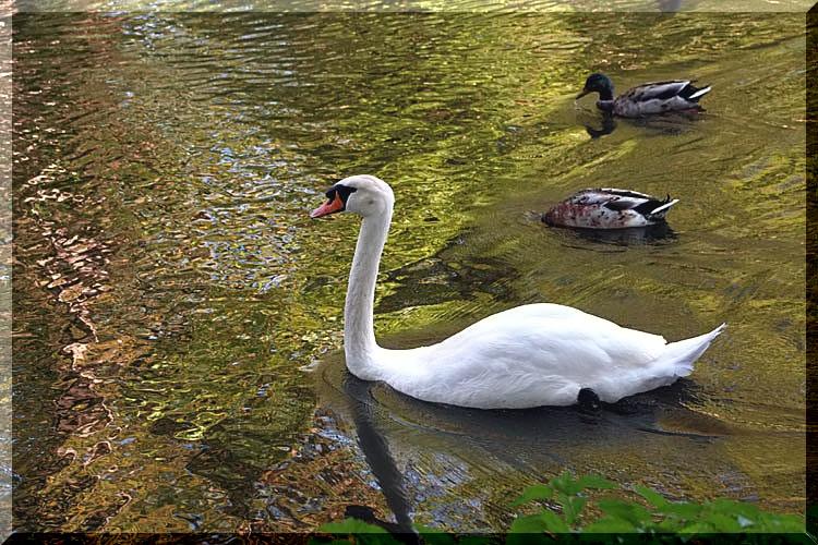 un cygne sur un petit ruisseau Un_sig11