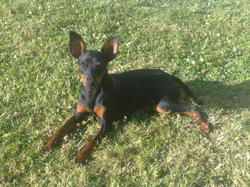 COX Pinscher nain - Picardie  - Page 3 Cox_1110