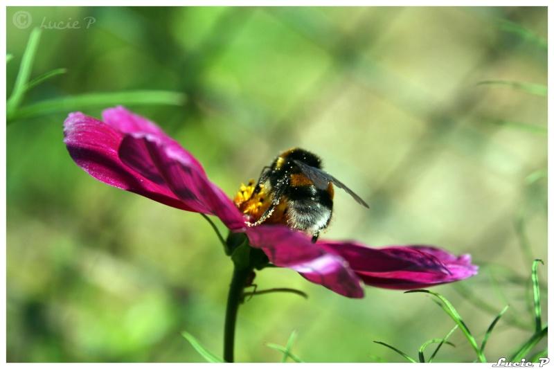 Un bourdon et une abeille Img_6510