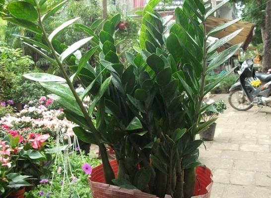 Những loại cây mang đến tài vận dồi dào Cay-ki10