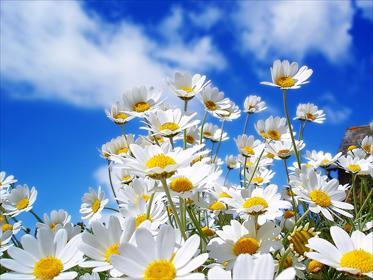 Những loài hoa thích hợp với cung hoàng đạo Daisy_10