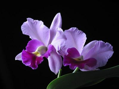 Những loài hoa thích hợp với cung hoàng đạo Hoalan10