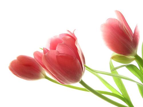 Những loài hoa thích hợp với cung hoàng đạo Tulip10
